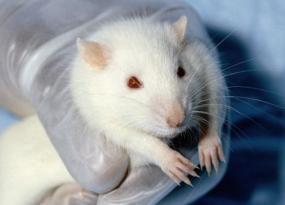 white, animals, hands, red eyes, rats, albino - related desktop wallpaper
