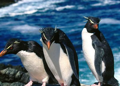 birds, penguins, Rockhopper Penguins - related desktop wallpaper