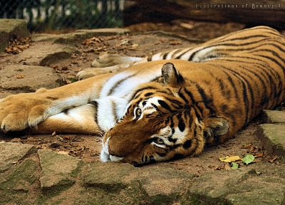 animals, tigers, feline, mammals - related desktop wallpaper