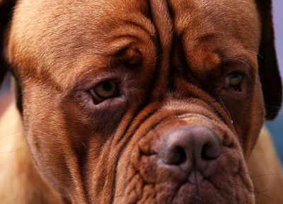 animals, dogs, dogue de bordeaux - related desktop wallpaper