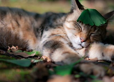 cats, animals, leaves, fallen leaves - random desktop wallpaper