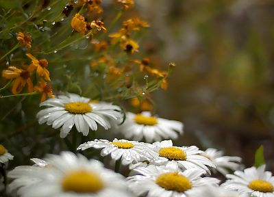 nature, daisy, chamomile - related desktop wallpaper