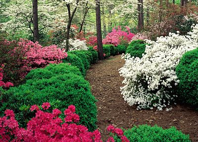 flowers, garden, azaleas - desktop wallpaper