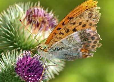 insects, butterflies, Thistles - desktop wallpaper