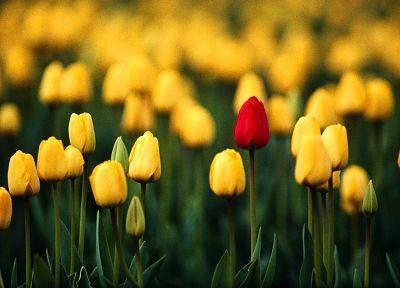 flowers, tulips - related desktop wallpaper