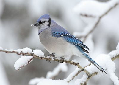 snow, birds, Blue Jay - random desktop wallpaper
