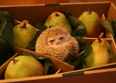 animals, hedgehogs, black eyes, pears - related desktop wallpaper