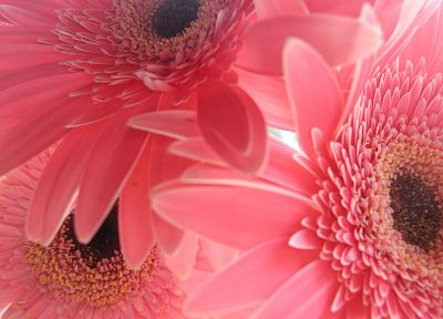 flowers, pink, gerbera flower, gerber daisy - desktop wallpaper