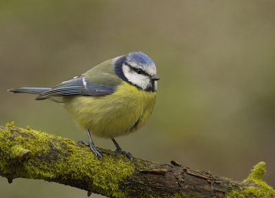 birds, depth of field, blue tit - desktop wallpaper