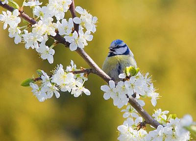 nature, birds, blue tit, white flowers, blurred background - related desktop wallpaper