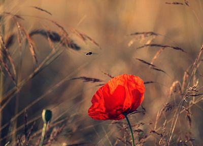 flowers, insects, macro, poppy, depth of field, evening - desktop wallpaper