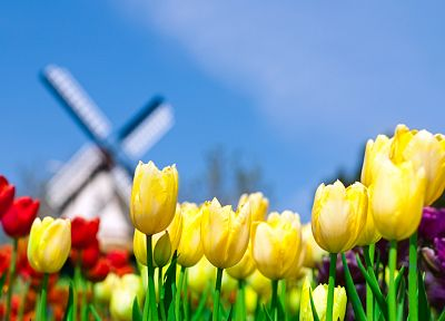 nature, flowers, tulips, Holland, The Netherlands - desktop wallpaper