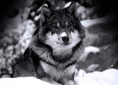 close-up, nature, snow, animals, husky, grayscale, selective coloring, Siberian husky, wolves - random desktop wallpaper