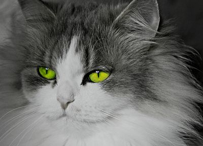 cats, animals, green eyes, selective coloring - random desktop wallpaper