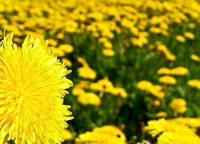 flowers, yellow, dandelions, yellow flowers - desktop wallpaper