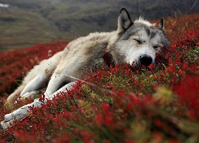 red, flowers, animals, dogs, outdoors, sleeping, collar, wolves - random desktop wallpaper
