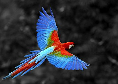 birds, animals, parrots, selective coloring, Rio, Scarlet Macaws - related desktop wallpaper