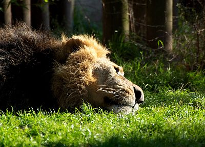 Sun, animals, grass, bamboo, pride, sleeping, male, anime, lions - desktop wallpaper