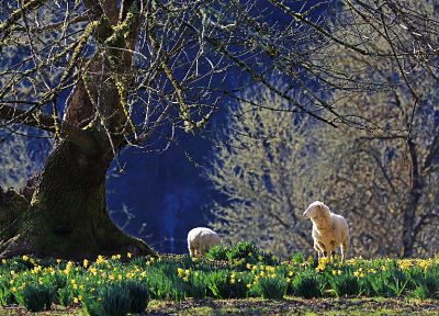 landscapes, nature, trees, animals, fields, sheep, spring, USA, sunlight, Oregon, depth of field, daffodils - related desktop wallpaper