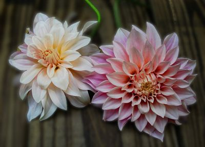 nature, flowers, dahlias - random desktop wallpaper