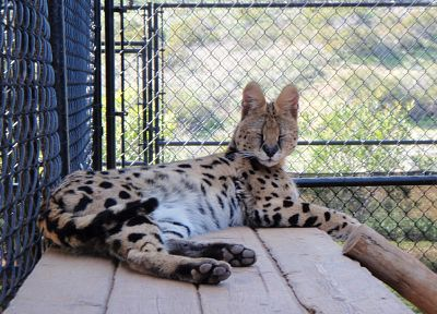 fences, animals, outdoors, closed eyes, serval, spotted, chain link fence - related desktop wallpaper