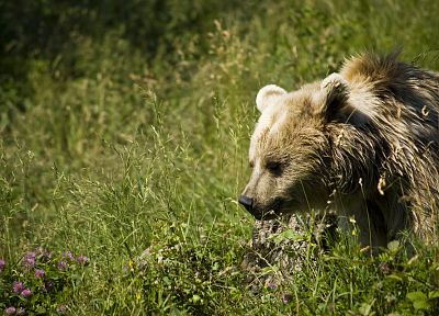 animals, grass, bears - related desktop wallpaper