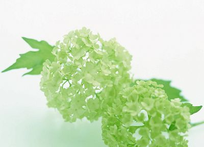 flowers, white background, hydrangea - desktop wallpaper
