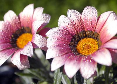 nature, flowers, water drops, macro - related desktop wallpaper