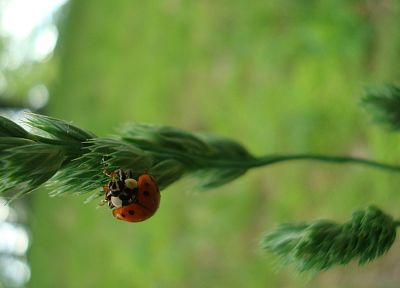 insects, ladybirds - desktop wallpaper