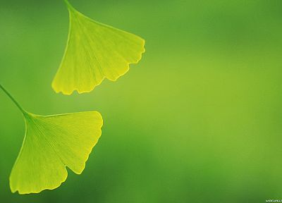 green, nature, leaves, depth of field, ginkgo - random desktop wallpaper