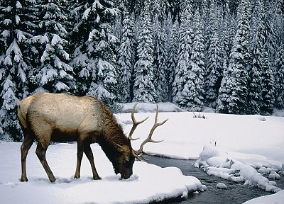 winter, snow, elk - random desktop wallpaper