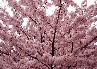 trees, flowers, Blossom - desktop wallpaper