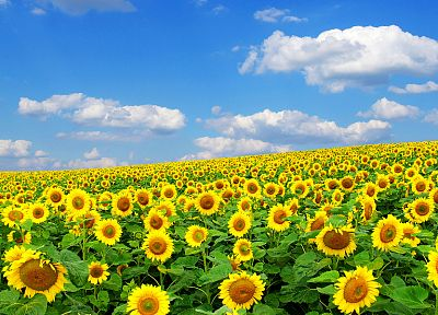 flowers, fields, sunflowers, yellow flowers - random desktop wallpaper