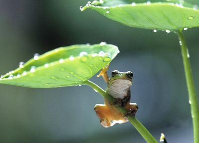 animals, leaves, frogs, amphibians - related desktop wallpaper