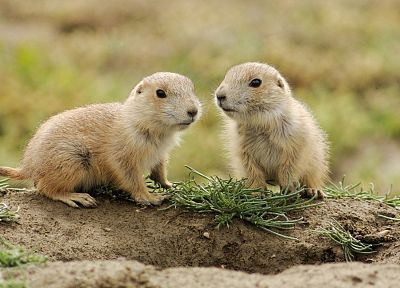 animals, prairie dogs, baby animals - random desktop wallpaper