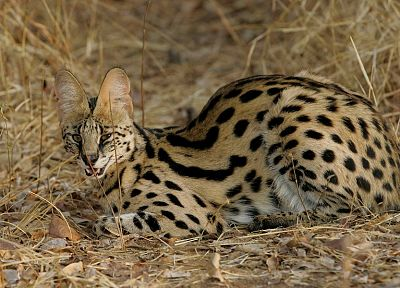 animals, outdoors, serval, spotted - related desktop wallpaper
