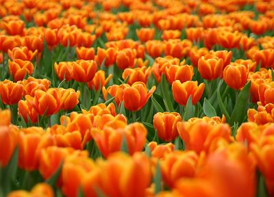 nature, flowers, tulips - related desktop wallpaper