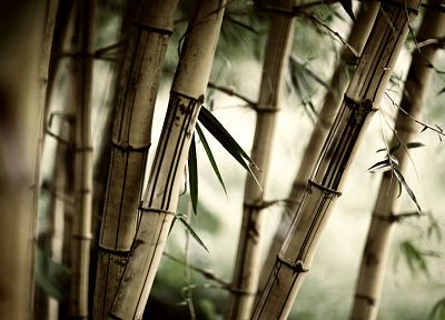 forests, leaves, bamboo, plants - related desktop wallpaper