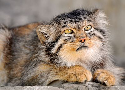 cats, animals, manul - random desktop wallpaper