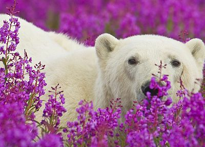 animals, National Park, polar bears, purple flowers - desktop wallpaper