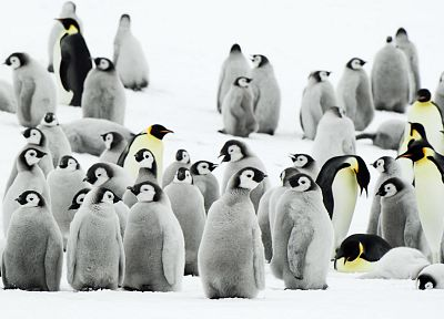 snow, penguins - random desktop wallpaper