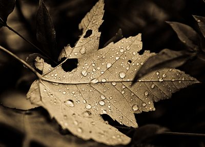nature, leaves, plants, monochrome, water drops - random desktop wallpaper