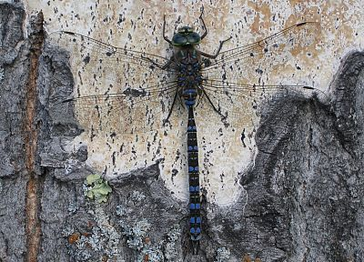 nature, animals, insects, dragonflies - related desktop wallpaper