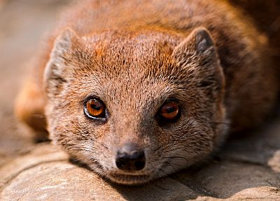 animals, mongoose - random desktop wallpaper