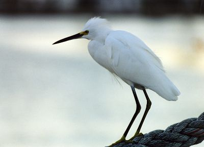 birds, snowy egret, egrets - related desktop wallpaper