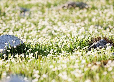 nature, flowers, rocks, white flowers, wildflowers - related desktop wallpaper