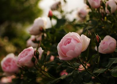flowers, plants, roses, pink flowers - related desktop wallpaper