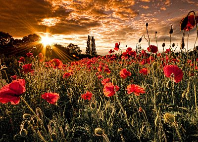 flowers, poppy, red flowers - random desktop wallpaper