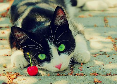 nature, cats, animals, cherries, green eyes, feline, pets - related desktop wallpaper