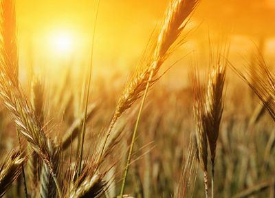 nature, fields, summer, wheat, sunlight - desktop wallpaper